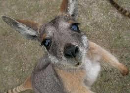 Kangaroo Genuis
