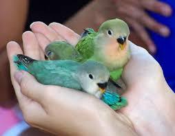 قسم هواة طيور الحب