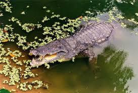 El cocodril viu a la sabana i es passa molt de temps dintre laigua.