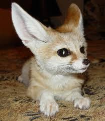 إليكم صور الحيوان الدي تشتهر به الجزائر وهو رمز لها Fennec%2520Fox1