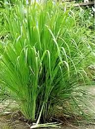 النباتات الطبيه والعطرية Lemongrass_plant