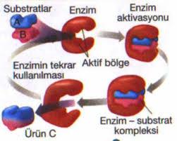 الانزيمات enzim-substrat-ilisk