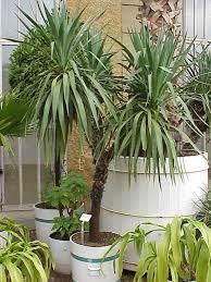Yucca gloriosa /