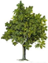 arbre_pain_sur_pied