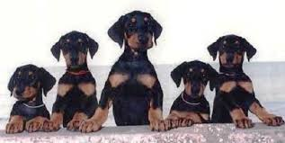 Doberman Pinscher Family