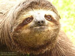 Close Three toed Sloth