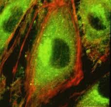 endotelial
