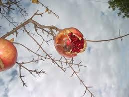 هرس درخت انار