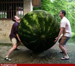 http://t2.gstatic.com/images?q=tbn:srReiYFK-i2WWM:http://www.freakingnews.com/pictures/62000/Big-transgenic-watermelon---62448.jpg&t=1