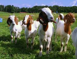 2008 06 02 goats