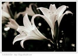 هدية لكل عضو Fleur-1