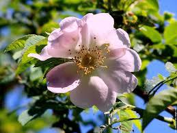 http://t2.gstatic.com/images?q=tbn:uAHSrH92Q09XlM:http://www.fond-ecran-image.com/galerie-membre,fleur-eglantine,rose-de-prnitemps.jpg