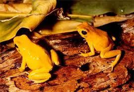 ضفاضع رووووعه بس سامه Golden-poison-dart-frog