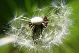 Souffle du Temps  Pissenlit-fleur-souffle-jardin-haute-816749