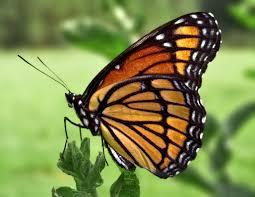 الكون كله يتحجب .. Viceroy_Butterfly.jpg