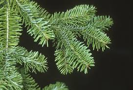 Christmas Tree Species Name by University Of Bristol Botanic Garden Branching Out On Your Choice