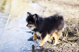 Tiny Non Shedding Dog Breeds by The Sweetest And Scariest Small Dog Behaviors U2014which Breed Is