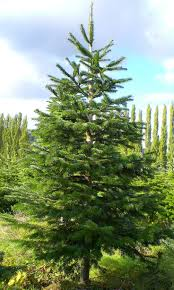 Colorado Springs Christmas Tree Permits by 25 Best Noble Fir Christmas Tree Ideas On Pinterest Noble Fir