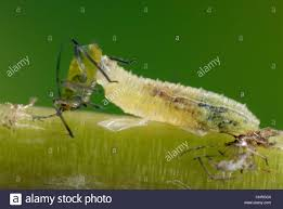 Christmas Tree Has Aphids by Aphid Control Stock Photos U0026 Aphid Control Stock Images Alamy