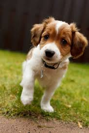 Tiny Non Shedding Dog Breeds by Best 25 Cute Small Dog Breeds Ideas On Pinterest Cutest Small