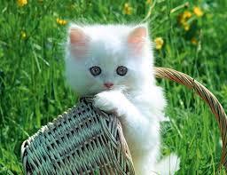 القطط,لهواة images?q=tbn:ANd9GcQ