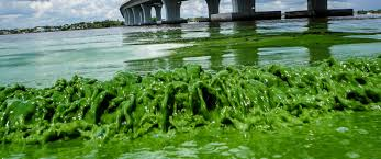 Bathtub Beach Stuart Fl Closed by The Algae That Devastated Florida U0027s Coasts Also Contained 28 Kinds