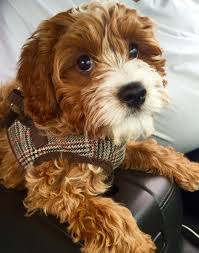 Tiny Non Shedding Dog Breeds by Cavapoos Cavapoo Puppies For Sale Tennessee Puppy Dogs Tn