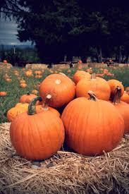 White Oak Pumpkin Patch by 18 Best Pumpkin Patch Images On Pinterest Fall Pumpkin Farm And
