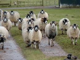 herding.jpg. heeeeeeelp