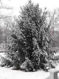 Christmas Tree Farms Near Lincoln Nebraska by My Tree Gallery The Arbor Day Foundation