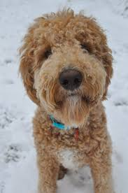 Tiny Non Shedding Dog Breeds by Goldendoodle Wikipedia