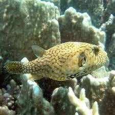 حوالي 60سم و تستطيع السمكة نفخ معدتها متخذة شكل الكرة