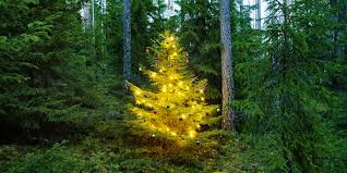 Christmas Tree Has Aphids by How Green Is Your Tree Sustainable Holiday Tips Huffpost
