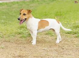 Tiny Non Shedding Dog Breeds by Jack Russell Dog Breed Information Buying Advice Photos And