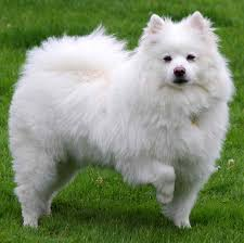 Tiny Non Shedding Dog Breeds by American Eskimo Dog Toy Miniature Standard K9 Research Lab