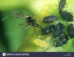Christmas Tree Has Aphids by Aphid Egg Stock Photos U0026 Aphid Egg Stock Images Alamy