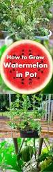 Minecraft Grow Pumpkins Fast by Best 25 Growing Watermelons Ideas On Pinterest How To Grow
