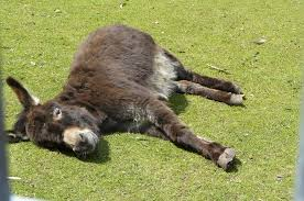 Die toten Esel