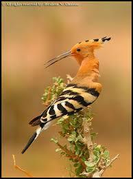 طائر الهدهد images?q=tbn:ANd9GcR
