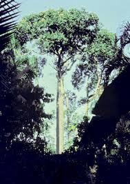 البرازيلى,شجرة البرازيلى images?q=tbn:ANd9GcR