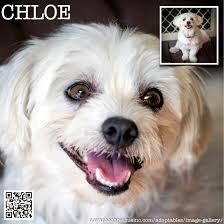 Tiny Non Shedding Dog Breeds by Chloe Adopted Nova Pooch Rescue Inc