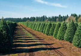 Pine Cone Christmas Trees For Sale by Your Christmas Tree Has Lived Through One Hell Of An Adventure