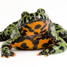 African Dwarf Frog Shedding Behavior by Oriental Fire Bellied Toad National Geographic