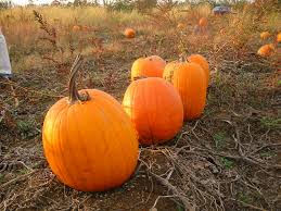 Pas Pumpkin Patch 2017 by Guide To Pumpkin Picking In Ohio I Love Halloween