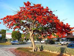 Christmas Tree Species Name by Delonix Regia Wikipedia