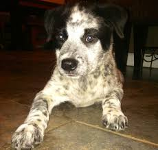Blue Heeler Shedding In Winter by I Took Her For A Little Walk To Go Get The Mail She Made Me Carry