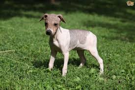Tiny Non Shedding Dog Breeds by The Four Recognised Hairless Dog Breeds Pets4homes