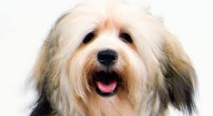 Tiny Non Shedding Dog Breeds by Havanese Dog Breed Information American Kennel Club