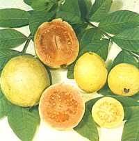 الجوافة! images?q=tbn:ANd9GcS