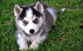 Tiny Non Shedding Dog Breeds by 7 Things You Need To Know Before Buying A Pomsky Animalso